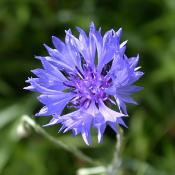 Eau florale bleuet 1 litre