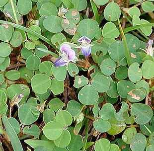 Poudre de Plante médicinale de Desmodium (plante), Desmodium adscendens