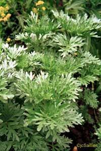 PLANTE MÉDICINALE d'Absinthe grande (plante), Artémisia absinthium
