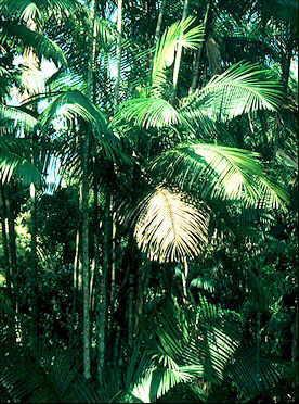 HUILE VEGETALE d'Acai, (Euterpe oleracea)