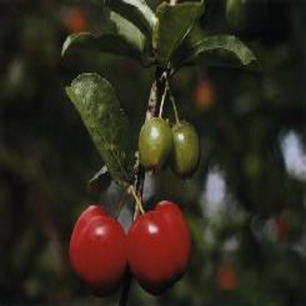 Acerola 3