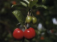 Poudre de Plante médicinale d'Acérola (fruit) poudre, Malpighia punicifolia