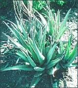 Jus d'aloes vera