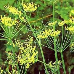 Poudre de Plante médicinale d'Aneth (feuille) BIO