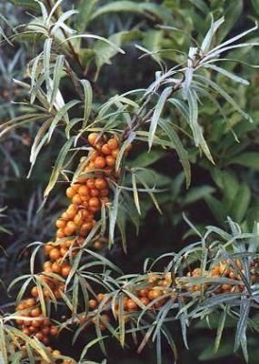 HUILE VÉGÉTALE d'Argousier, (Hippophaë rhamnoides) BIO