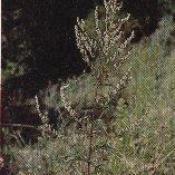 HUILE ESSENTIELLE d'Armoise, (Artemisia vulgaris)