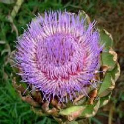 Poudre de Plante médicinale d'Artichaut (feuille) BIO