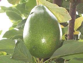 BEURRE d'Avocat