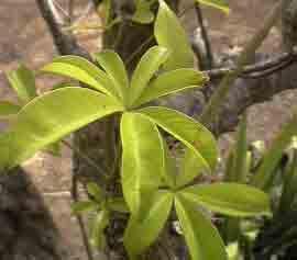 HUILE VÉGÉTALE de Baobab (Adansonia digitata) BIO
