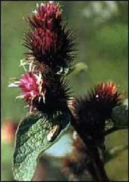 PLANTE MÉDICINALE de Bardane  (racine),Arctium lappa