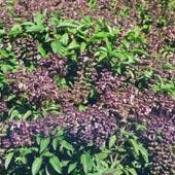 HUILE ESSENTIELLE de Basilic, (Ocimum basilicum)