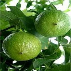 HUILE ESSENTIELLE de Bergamote sicilienne (Citrus bergamia)
