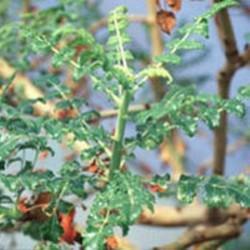 HUILE ESSENTIELLE de Boswellia (Boswellia serrata)