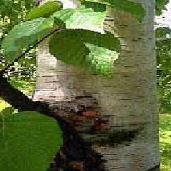 HUILE ESSENTIELLE de Bouleau feuille (Betula alba)