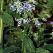 GÉLULES de Bourrache, Borrago officinalis