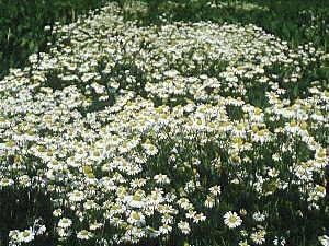 PLANTE MÉDICINALE de Camomille allemande (fleur), Tanacetum parthenium
