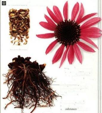 Plante médicinale de Echinacéa purpuréa (racine), Echinacea angustifolia