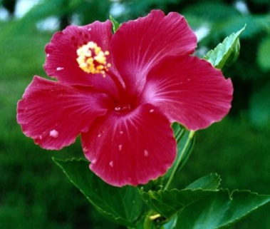 achat hibiscus