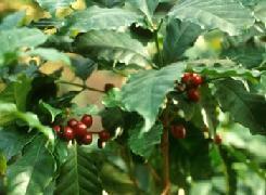 Poudre de Plante médicinale de Cafe vert graine, Coffea arabica ou robusta