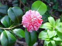 HUILE VÉGÉTALE de Camélia (Camellia japonica)
