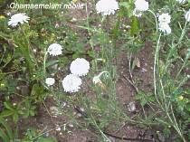 Poudre de Plante médicinale de Camomille romaine (fleur), Anthemis nobilis