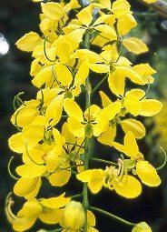 PLANTE MÉDICINALE de Casse muette (bâton), Cassia fistula