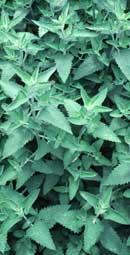 PLANTE MÉDICINALE de Cataire (plante), Nepeta cataria