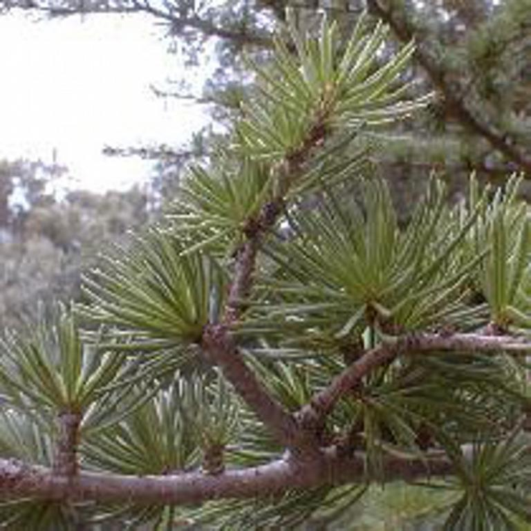 HUILE ESSENTIELLE de Bois de cèdre (Cedrus spp)