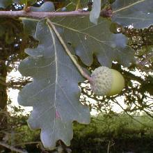 GÉLULES de Chêne 220 mg, (Quercus robur)
