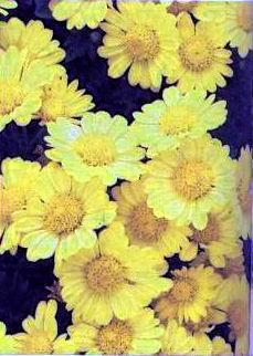 Poudre de Plante médicinale de Chrysanthellum americanum, Chrysanthellum indicum