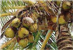 plante m dicinale de cocotier fruit rap cocos nucifera. Black Bedroom Furniture Sets. Home Design Ideas