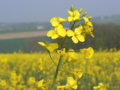 HUILE VÉGÉTALE de Canola (Brassica napus)