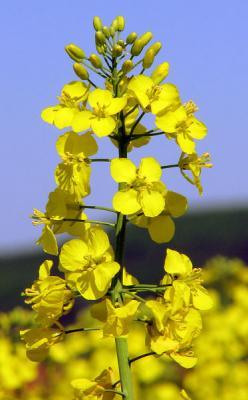 HUILE VÉGÉTALE de Canola (Brassica napus) BIO