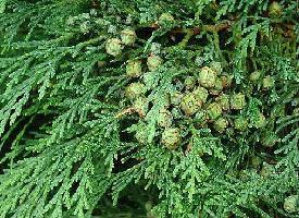 Plante médicinale de Cyprès (noix concassée), Cupressus sempervirens