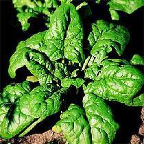 Gélules d' Epinard, Spinacia oleracea