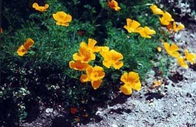 GÉLULES de Eschscholzia (180 mg), Eschscholtzia californica