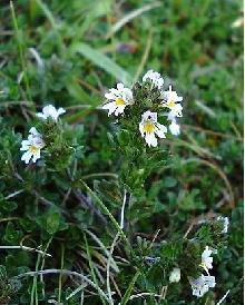 GÉLULES D' Euphraise (220 mg), Euphrasia officinalis