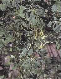 Plante médicinale de Fenugrec (semence), Trigonella foenum-graecum