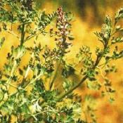 Poudre de Plante médicinale de Fumeterre officinale (plante), Fumaria officinalis