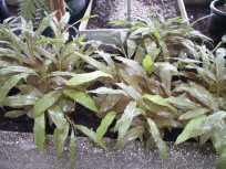 Plante médicinale de Galanga (racine), Alpinia officinarum BIO