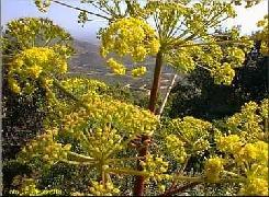 HUILE ESSENTIELLE de Galbanum (Ferula gummosa)