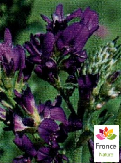 Gelules d alfalfa 190 mg medicago sativa