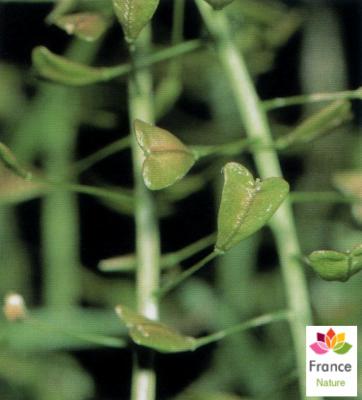 GÉLULES de Bourse-a-pasteur 250 mg, (Capsella bursa pastoris)