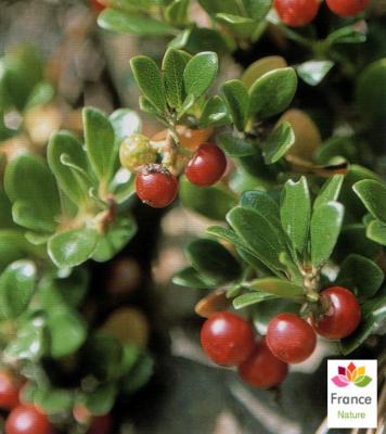 GÉLULES de Busserole 240 mg, (Arctostaphylos uva-ursi)