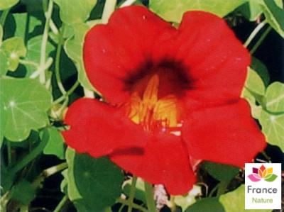 GÉLULES de Capucine 180 mg, (Tropaleolum majus)