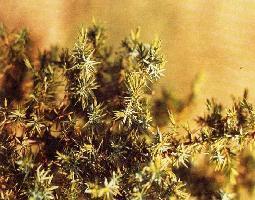 Plante médicinale de Genévrier (baie), Juniperus communis
