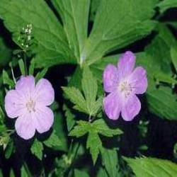 HUILE ESSENTIELLE de Géranium rosat (Geranium robertianum)