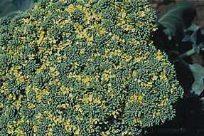 GÉLULES de Girofle (240 mg), Caryophyllus aromaticus