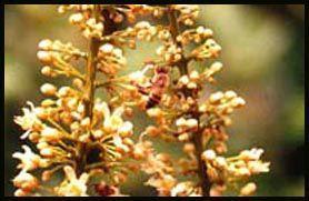 Plante médicinale de Guarana (semence), Paullinia cupana BIO