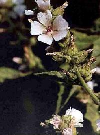 Plante médicinale de Guimauve (feuille), Althaea officinalis